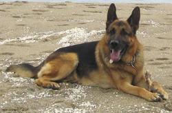 Heros, chien Berger allemand