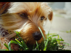 Chipie, chien Yorkshire Terrier