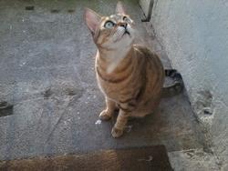 Chipie, chat Gouttière