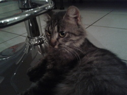 Chipie, chat Angora turc