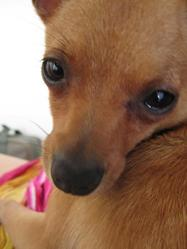 Chipie, chien Chihuahua