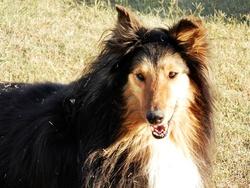 Chipie, chien Colley à poil long