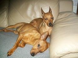 Chipie, chien Pinscher