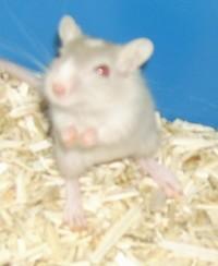 Chipie, rongeur