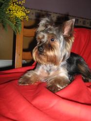 Chipie, chien Yorkshire Terrier