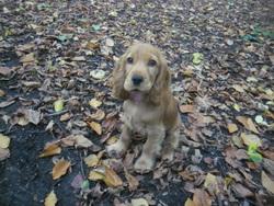 Chipie, chien Cocker anglais