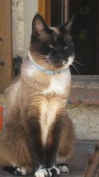Chipie Au Paradis, chat Siamois