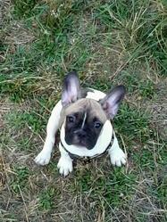 Chipie, chien Bouledogue français