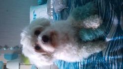 Chipie, chien Bichon à poil frisé