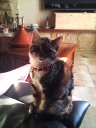 Chipie, chat Européen