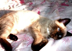 Chipie, chat Siamois