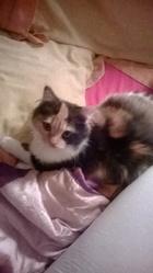 Chipie, chat Persan