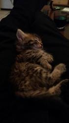Chipie, chaton