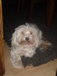 Chipie, chien Bichon havanais