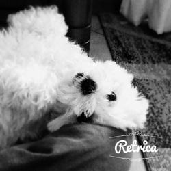 Chipie , chien Bichon maltais