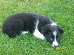 Chipie, chien Border Collie