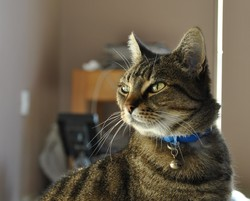 Chipie, chat American Shorthair