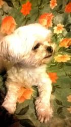 Chipie, chien Bichon maltais