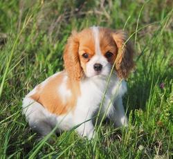 Chipie, chien Cavalier King Charles Spaniel
