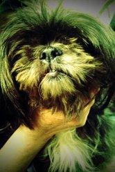 Chipie Alias Pipo, chien Lhassa Apso