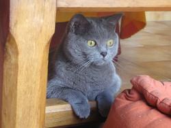 Chipie De L'Arche Bleue, chat Chartreux