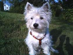 Chipie Du Domaine Du Lys, chien West Highland White Terrier