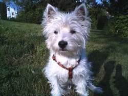 Chipie Du Domaine Du Lys, chien West Highland White Terrier