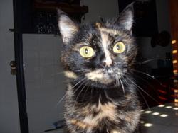 Réglisse , chat