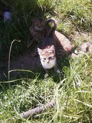 Chipie Et Sa Mère Mimine, chat Européen