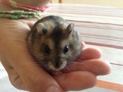 Chipis , Dodo A Vie, rongeur Hamster