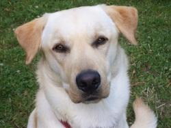 Chipper, chien Labrador Retriever