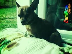 Chipper , chien Chihuahua