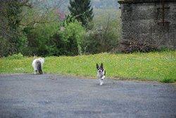 Chippie, chien Pinscher