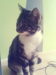 Chippie, chat Européen