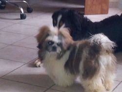 Chippie, chien Lhassa Apso