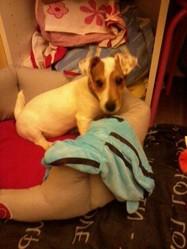 Chippie, chien Jack Russell Terrier