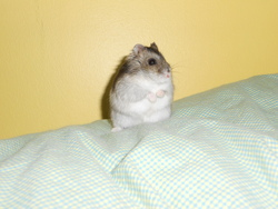 Chips, rongeur Hamster