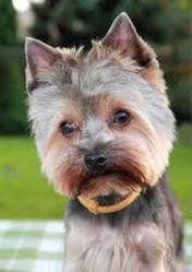 Chips, chien Yorkshire Terrier
