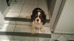 Chips, chien Cavalier King Charles Spaniel