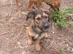 Chipsi, chien Basset fauve de Bretagne