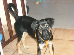 Chipsy, chien Berger allemand