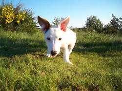 Chipy, chien Jack Russell Terrier