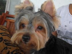 Chipy, chien Yorkshire Terrier