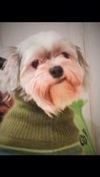 Chiqu1, chien Shih Tzu