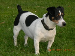 Chiquita, chien Jack Russell Terrier
