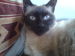 Chiquitta, chat Thaï