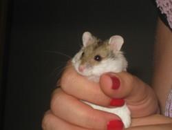Chispita, rongeur Hamster