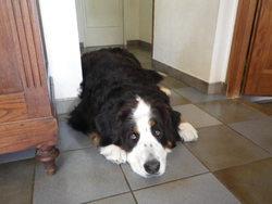 Chiva, chien Bouvier bernois