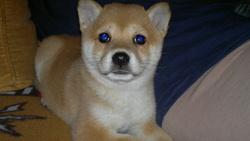 Chiva, chien Shiba Inu