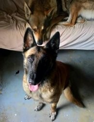 Chiva, chien Berger belge